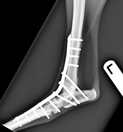 Figure 3. Six-weeks post-operative lateral view